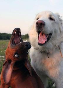 dominant köpek yoktur