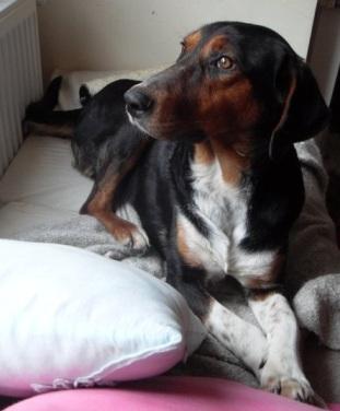 melez bir beagle