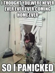 Köpeklerde evde yalnız kalma korkusu